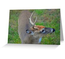 Odocoileus Virginianus - White-Tailed Deer Male Stag | Fire Island, New York Greeting Card