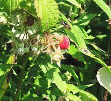 Last of The Bunch - Raspberry - Waterworks Park. by Shannon Matuska