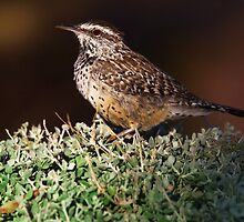 Cactus Wren - Madera Canyon, Arizona by John Absher