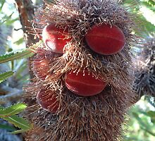 Banksia Seed Pod by KarenEaton