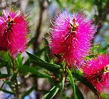 Bottlebrush by Alicia  Liliana