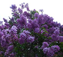 Purple Lilacs by BlueMoonRose