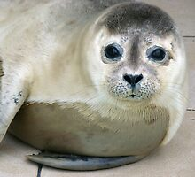Baby seal by Kaleidoking
