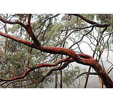 Tasmanian Gum Photographic Print
