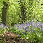 Bluebell Wood Cheshire in Spring by SteveMcBill