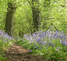 Bluebell Wood Cheshire in Spring by Stephen McWilliam