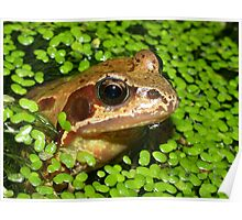Common Frog (Rana temporaria) in a Pond Poster