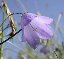 Harebell (Campanula rotundifolia) by Stephen McWilliam