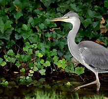 Grey Heron, Bushy Ruff Nature Reserve by FelicityB