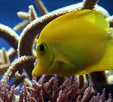 Little yellow fish by Roxy J