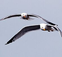 trust in flight,paired flight,gulls portrait, by Rodney55
