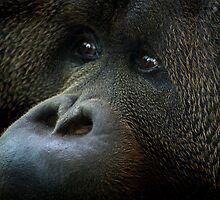 Orangutang in Colchester Zoo by Pagwag