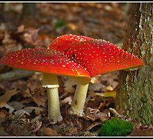 Fly Fungi (2) by Adri  Padmos