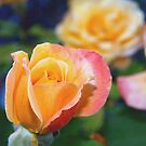 Yellow and pink-tinged roses by  B. Randi Bailey