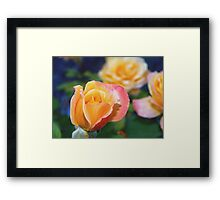 Yellow and pink-tinged roses Framed Print