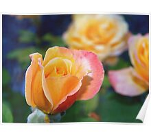 Yellow and pink-tinged roses Poster