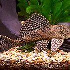 Plecostamus in fishtank by susanmcm