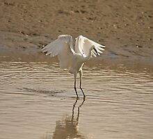 Little Egret landing 2 by Jon Lees