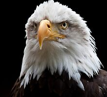 Bald Eagle portrait at the Hawk Conservancy by Maska