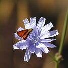 Copper Sulphur on Chicory by LOJOHA
