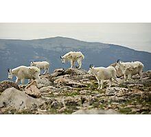 Mt Evans mountain goats Photographic Print