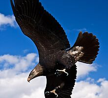 Eagle in flight, worked by Tim Denny