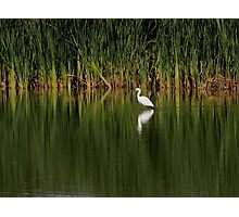 Snowy Egret in the Marsh Photographic Print