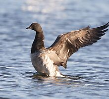 A Brant Fan by DigitallyStill