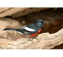 Warbler, Painted Redstart Photographic Print