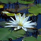 Water Lily by Len Bomba