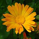 Pale Orange Marigold Flower With Garden Background by taiche
