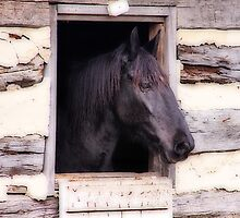 Beautiful Black Horse in the Barn by elisab