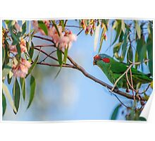 Musk Lorikeet in the blossom Poster