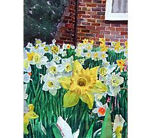 Daffodils with brickwall. Photographic Print
