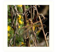 Brown Hawker dragonfly Art Print