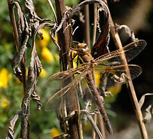 Brown Hawker dragonfly by Nigel Kendall