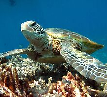 Green Turtle resting on the bottom under our snorkel boat by allanjonesgbr