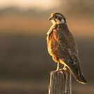 Brown Falcon in Sunset by AlyssaSbisa