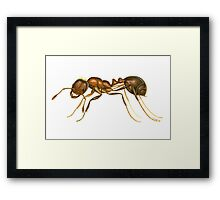 Red Imported Fire Ant (Solenopsis invicta) Framed Print