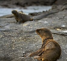 Seal pup and Marine Iguana by citrineblue