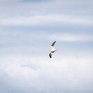 Black-shouldered Kite in the Clouds by AlyssaSbisa