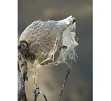 Milkweed Photographic Print