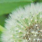 Dandelion by paulineca