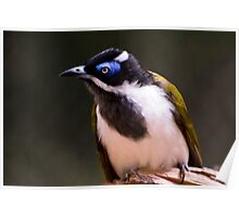 Blue-faced Honeyeater Poster