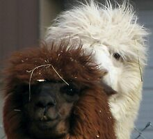 Alpaca Friends by swaby