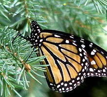 Monarch In A Spruce  by swaby