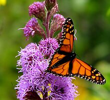 Monarch Butterfly by swaby
