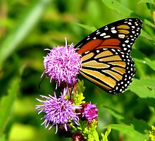 Shy Monarch by swaby
