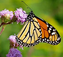 Bud Swaying Monarch by swaby