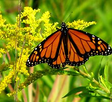 Monarch On Yellow by swaby